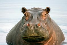 Image result for face of a hippopotamus