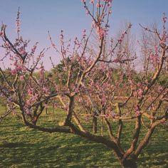 #duraznoenflor #samsungS5 #verde #campo #fotografía #photography #primavera #color #rosado #rosa