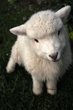 Adorable lamb.