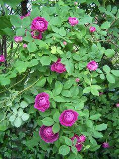 Reine Des Violettes Rose Trellis Garden Roses Planting Antique Vintage