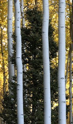 how to draw aspen trees