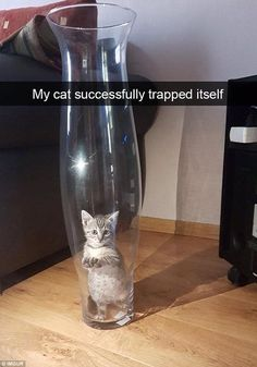 A teeny tiny kitten somehow managed to trap itself inside a large vase and was unable to get out cute cute kittens sweets Funny Animal Memes, Cute Funny Animals, Funny Animal Pictures, Cute Baby Animals, Cat Memes, Funny Cute, Hilarious Memes, Squirrel Memes, Diy Funny