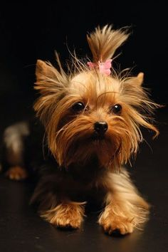 """""""They were all originally bred from Scotch Terriers (note: which means dogs from Scotland, not today's Scottish Terrier) and shown as such.the name Yorkshire Terrier was provided to them on account of their becoming enhanced a lot in Yorkshire. Yorkies, Yorkie Puppy, Mini Yorkie, Baby Yorkie, Havanese Dogs, Yorkie Terrier, Terrier Dogs, Beautiful Dogs, Animals Beautiful"""