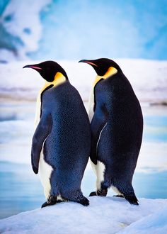 Two Emperors, Snow Hill Island, Antarctica Travel Photography Penguin Life, King Penguin, Penguin Art, Wildlife Photography, Animal Photography, Travel Photography, Cute Penguins, Cute Animals, Animals And Pets