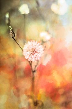 Dandelion by Ana Pontes