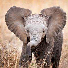 An adorable #baby #elephant stares into the camera. Photo by: Billy Dodson #cute #wildlife
