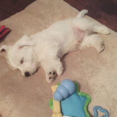 Being a puppy is hard work! Sweet Westies, Max. ❤️
