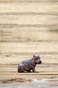 Baby Hippo by Will Burrard-Lucas