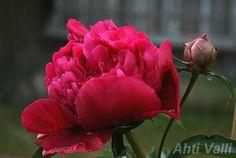 """'Inspecteur Lavergne' P.lactiflora kiinanpioni Doriat 1923 Ranska Kerrattu keskikokoinen kukka on syväntummanpunainen, kapeammissa keskusterälehdissä hopeinen häivähdys. Tuoksu ei ole mitenkään huomattava, mutta miellyttävä """"pionintuoksu"""". Tämä lajike on keskimääräistä myöhemmin kukkiva ja sivunuppujensa ansiosta yksi kauimmin kukassa oleva pioni. Kukinta-aikaa on lähes koko heinäkuu. Korkeus 95 – 105cm ja hennohkot varsistot vaativat tuentaa. 'Inspecteur Lavergne' on yksi luotettavimmista…"""