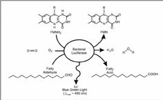 Fig. 4. In the bacterial bioluminescence reaction, bacterial luciferase catalyzes the oxidation of reduced flavin mononucleotide (FMNH 2 ) and a long chain fatty aldehyde with molecular oxygen resulting in the emission of blue green light.
