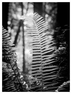 Sword Fern Black and White Silver Metallic by SierraMtnArtPrints