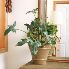Fiddle-leaf philodendron (Philodendron bipennifolium) has violin-shape leaves to 10 inches long. It is a vine that will climb a support pole if given the chance. It is also known as panda plant (Philodendron panduriforme). Vine House Plants, Handmade Dressers, Dappled Light, Low Light Plants, Fiddle Leaf, Potting Soil, Gardening For Beginners, Tropical Plants, Houseplants