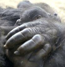Baby gorilla comforted by mom No More Monkeys, Little Monkeys, Zoo Animals, Cute Animals, Baby Gorillas, San Diego Zoo, Chimpanzee, Beautiful Creatures, Pet Birds