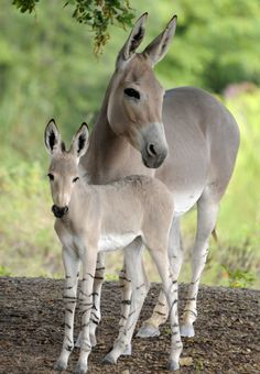 For the first time in the history of the Miami Zoo, a critically endangered Somali Wild Ass was born. This celebrated event took place late this summer. The Somali Wild Ass is critically endangered…