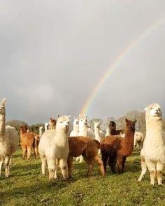 Alpacas and rainbow. Cute Funny Animals, Cute Baby Animals, Animals And Pets, Cute Animal Videos, Funny Animal Pictures, Beautiful Creatures, Animals Beautiful, Beautiful Beautiful, Alpacas