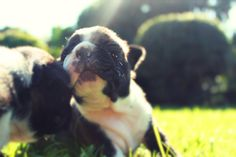 Our Boston terrier pups enjoying grass for the first time