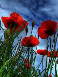 Image result for poppies images