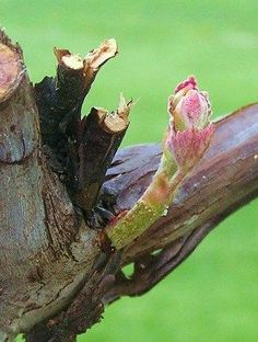 Step by step instructions and pictures on pruning grape vines.