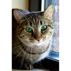 Bambi is an adoptable Domestic Short Hair - Gray And White Cat in Arlington Heights, IL. Bambi is an adorable and playful petite tabby with beautiful, striking green eyes that shift from sea-green to ...