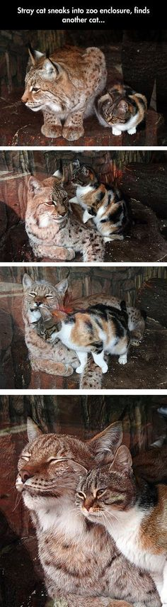 This is probably one of the most heartwarming stories of unusual animal friendship. Click here to read all about this love story between a lynx and a cat in the Leningrad Zoo in Russia: http://www.traveling-cats.com/2014/06/cat-from-st-petersburg-russia.h