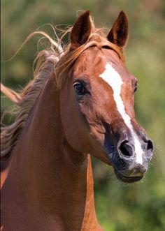 72 Best Arabians images in 2019 | Beautiful horses, Horses, Horse