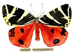"""watercolor, aceo, art card, """"Jersey Tiger Moth"""""""