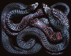 Snake charming, Handling snakes, den of vipers. [Guido Mocafico - Snakes]