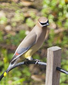 This Cedar Waxwing Is The First Iu0027ve Ever Seen In My Backyard. Normally.  Cedar WaxwingBackyardBirdwatchingPatioTuinBackyards
