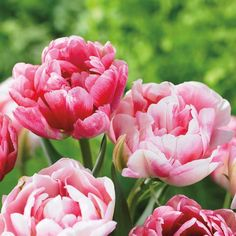 Tulip Tulip Double Late from Bulbs to Blooms available at Costco