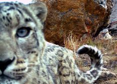 A camera trap set on the Afghan Border has captured images of a leap of elusive snow leopards, but also the moment when one of the cubs made off with one of the cameras.