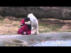 Meet Siku the polar bear cub on the live polar bear cam