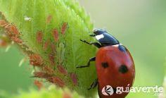 Conoce los pulgones y otras plagas comunes en jardinería