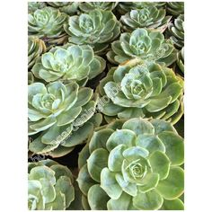 Echeveria photo - Home Gardening for Beginners Different Kinds, Echeveria, Gardening For Beginners, Cabbage, Cactus, Succulents, Home And Garden, Wall Decor, Wallpapers