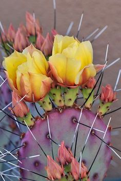 """Cactus means """"warmth."""" I'm not sure which sort of cactus was meant, so I just went with prickly pear, because I think they're the prettiest. Cacti And Succulents, Planting Succulents, Planting Flowers, Flowers Garden, Cacti Garden, Succulent Planters, Hanging Planters, Cactus E Suculentas, Cactus Plante"""