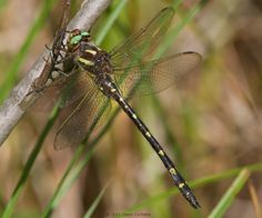 Cordulegaster maculata (Twin-spotted Spiketail), male