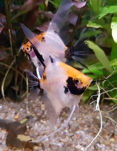 Tropical Fish Aquarium, Freshwater Aquarium Fish, Saltwater Aquarium, Aquarium Kit, Aquarium Ideas, Discus, Water Life, Angel Fish, Cichlids