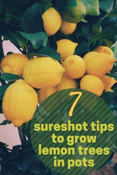 This post is all about growing a lemon tree in a pot or growing a lemon tree ind. - - This post is all about growing a lemon tree in a pot or growing a lemon tree indoors. Get the 7 best tips that will help you get your lemon tree in a . Home Vegetable Garden, Fruit Garden, Garden Trees, Edible Garden, Garden Bark, Garden Pots, Potted Garden, Indoor Vegetable Gardening, Lemon Tree Potted