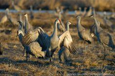 Sandhill Cranes on the Platte River | The Prairie Ecologist