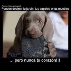 Ellos podrán destruir tus cosas, pero nunca destruyen tu corazón...#mascotas #perritos #amor #cariño #nobleza #amigofiel #perros #pet #pethappy #dog #love #heart #tiernos #pets #mood #goodness #sweet #