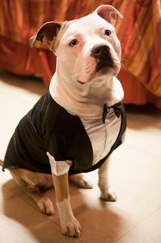 ... small dog, chihuahua, yorkie, wedding, groomsman, ring bearer, puppy Chihuahua X Pitbull