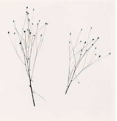 For Sale on - Two Winter Stalks, Biei, Hokkaido, Japan, Silver Gelatin Print by Michael Kenna. Cv Pdf, Black And White Landscape, Black White, Artist Bio, Art Brut, Gelatin Silver Print, Winter Photos, Victoria And Albert Museum, Contemporary Paintings