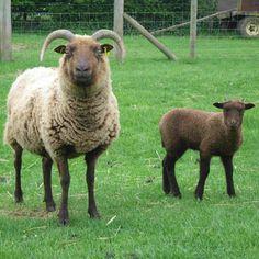 Manx Loaghtan ewe and lamb