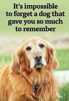 More Cute Golden Retriever dogs and puppies for dog lovers, check out this hilarious funny Golden Retriever mugs and shirts for golden retriever owners. Golden Retriever a popular dog breed Chien Golden Retriever, Golden Retrievers, Golden Retriever Quotes, I Love Dogs, Cute Dogs, Der Boxer, Dog Quotes Love, Pet Quotes, Quotes For Dogs