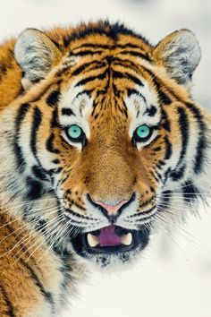 imposingtrends:Expressive Tiger | IT | Facebook | Instagram