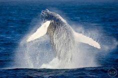 Taken by Ralph Lee Hopkins Cabo Pulmo baja Whale breach