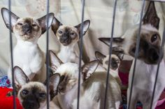 Cuddle up with @20x200 artist Landon Nordeman's pictures from the CFA World Championship Cat Show. Meow!