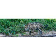 Jaguar (Panthera onca) walking in a forest at riverside Cuiaba River Pantanal Matogrossense National Park Pantanal Wetlands Brazil Canvas Art - Panoramic Images (12 x 36)