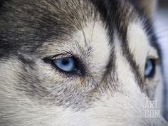 The Wolf Like Stare
