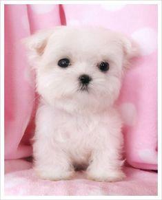 No dog is cuter than a #maltese puppy