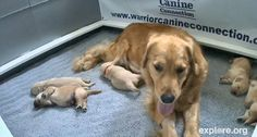 """""""A new litter of 6 Golden Retriever pups have just been born at Warrior Canine Connection. Our fantastic new HD puppy-cam is ready to broadcast the first thrilling moments of bonding between mother Holly and her babies."""""""